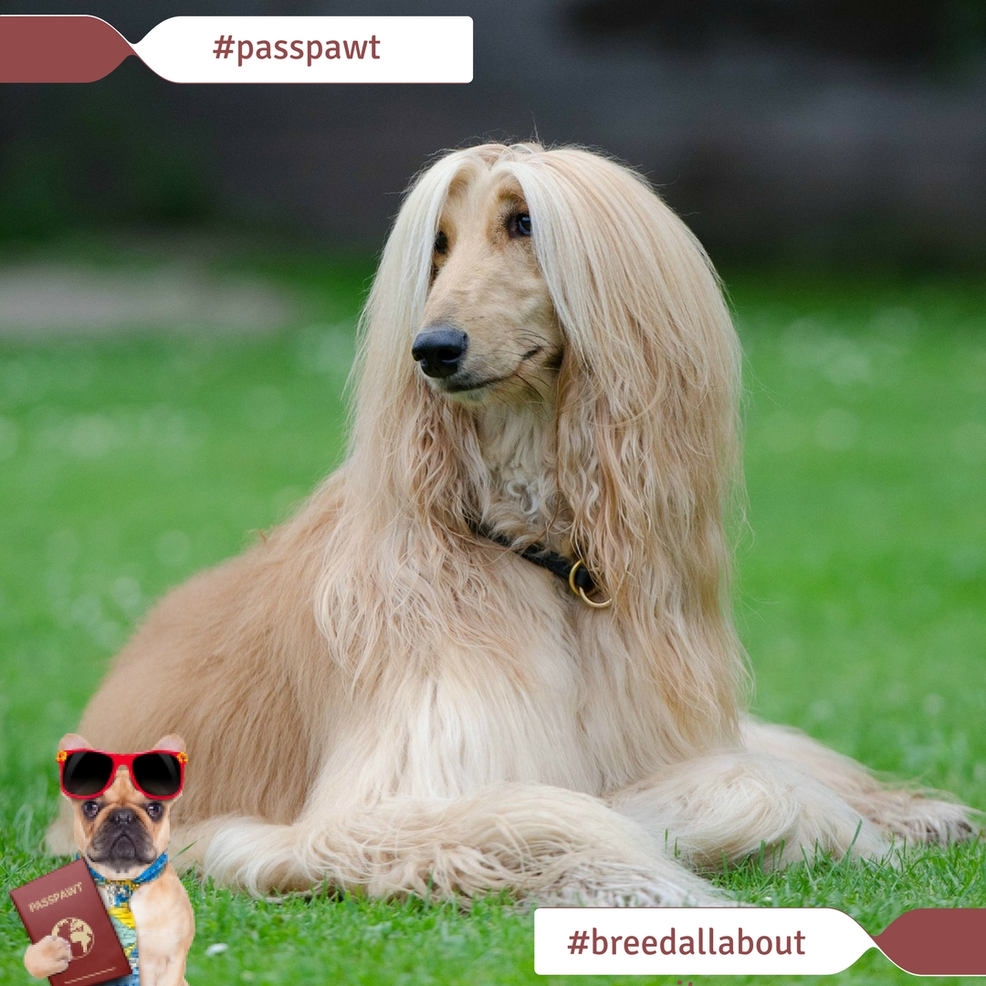 Breed All About It – Dog Breeds Starting With A – Afghan Hound