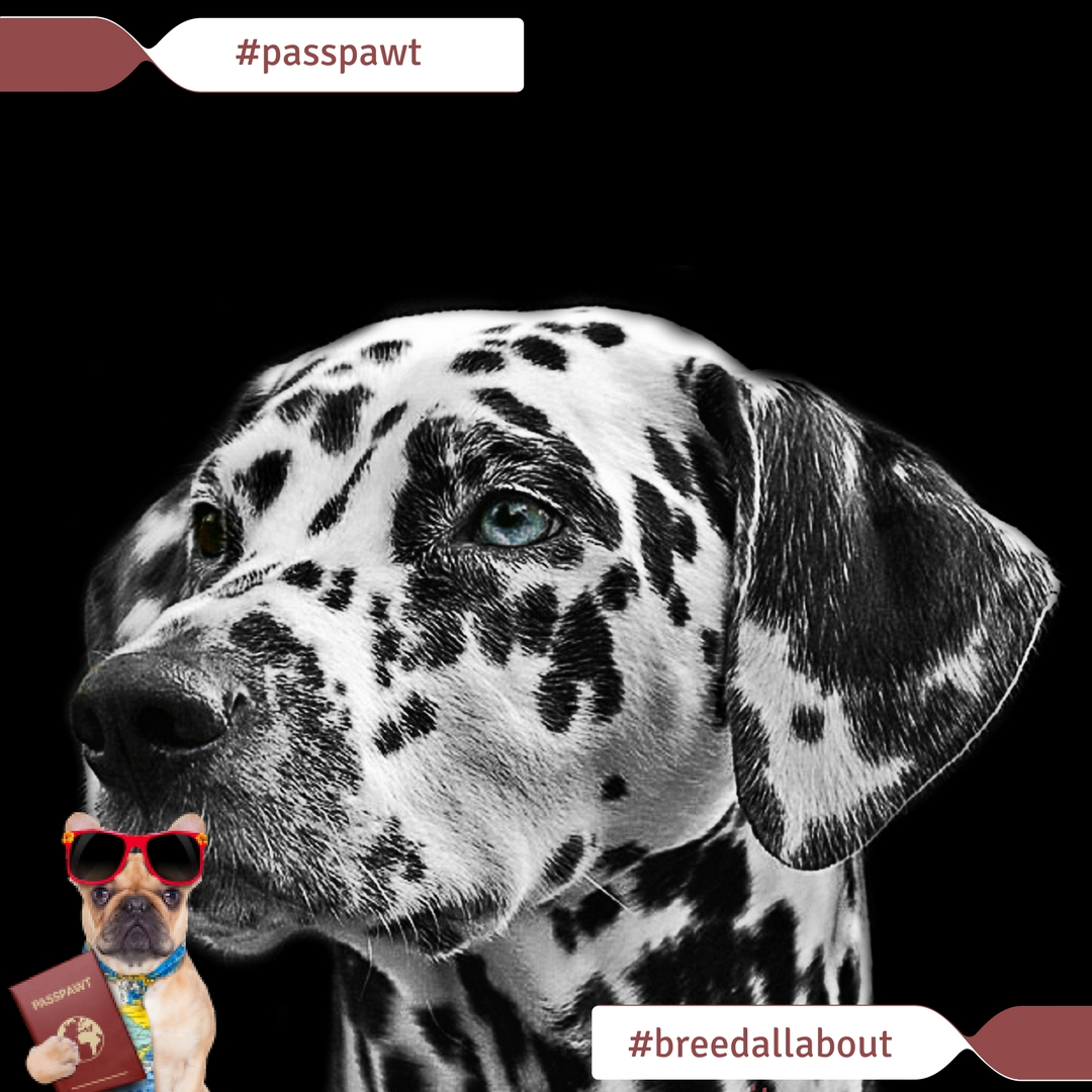 Breed All About It – Dog Breeds starting With D – Dalmatians