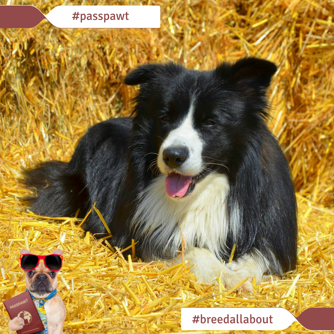Breed All About It – Dog Breeds starting With B – Border Collie