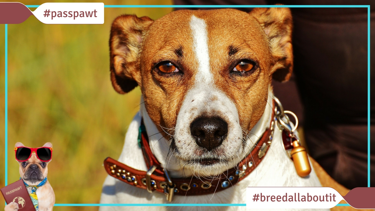 Breed All About It – Dog Breeds starting With J – Jack Russell