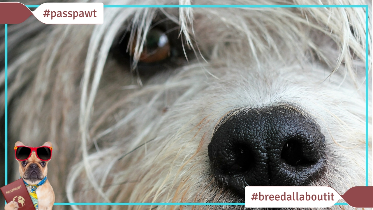 Breed All About It – Dog Breeds starting With O – Olde English Sheepdog