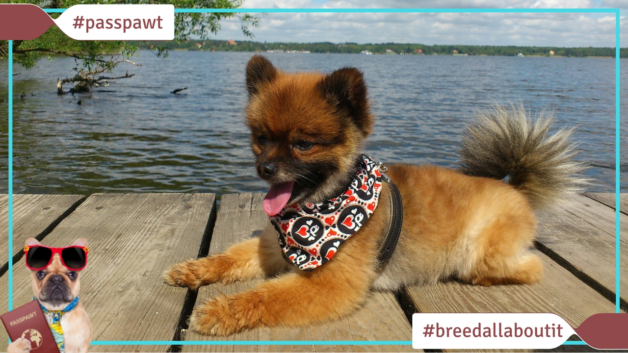 Breed All About It – Dog Breeds starting With P – Pomeranian