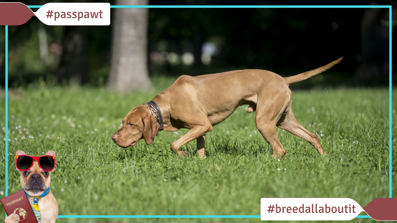 Breed All About It – Dog Breeds starting With V – Vizsla
